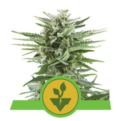 Easy Bud Auto – Royal Queen Seeds