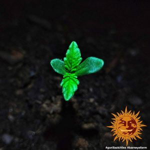 Gorilla Zkittlez Cannabis Seeds – Barneys Farm
